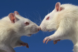 Aggressive Albino Rats Nose to Nose Photographic Print by W. Perry Conway