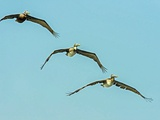 Brown Pelican Photographic Print by Gary Carter