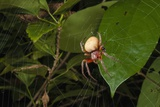 Spider (Eryophora Sp.) Female Photographic Print by Sergio Pitamitz