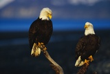Bald Eagles Perched on a Snag Photographic Print by W. Perry Conway