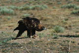 Golden Eagle with Prey Photographic Print by W. Perry Conway