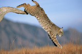 Bobcat Jumping from Branch Photographic Print by W. Perry Conway