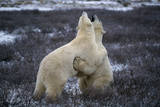 Polar Bears Playing Photographic Print by W. Perry Conway