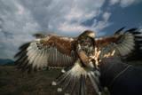 Harris' Hawk Lands on Falconer's Glove Reproduction photographique par W. Perry Conway
