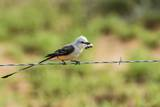 Scissor-Tailed Flycatcher Photographic Print by Gary Carter