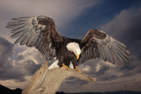 Bald Eagle Landing on Snag Photographic Print by W. Perry Conway