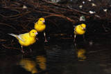 Canaries Standing by Water Photographic Print by W. Perry Conway