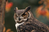 Great Horned Owl with Blurred Autumn Foliage Reproduction photographique par W. Perry Conway