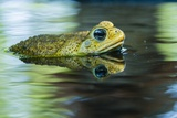 Cane Toad Photographic Print by Gary Carter