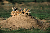Prairie Dogs at their Burrow Fotografisk tryk af W. Perry Conway