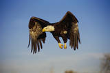 Bald Eagle in Flight Photographic Print by W. Perry Conway