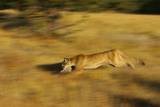 Cougar Chasing Prey through a Field Photographic Print by W. Perry Conway
