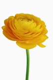 Ranunculus Photographic Print by Frank Krahmer