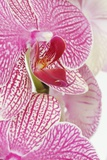 Moth Orchid Photographic Print by Frank Krahmer