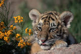 Siberian Tiger Cub Photographic Print by W. Perry Conway