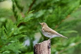 Hermit Thrush Photographic Print by Gary Carter