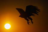Golden Eagle Flying at Sunrise Photographic Print by W. Perry Conway