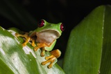 Red-Eyed Tree Frog (Agalychnis Callidryas) Photographic Print by Sergio Pitamitz