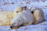 Polar Bear with Cubs Photographic Print by W. Perry Conway