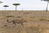 Cheetah, Masai Mara Photographic Print by Sergio Pitamitz