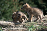 Coyote Pups Determining Dominance. Rocky Mountain Foothills Photographic Print by W. Perry Conway