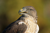 Close-Up of Ferruginous Hawk Photographic Print by W. Perry Conway
