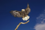Bald Eagle Landing on a Snag Photographic Print by W. Perry Conway