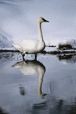 Trumpeter Swan in Shallow Water Impressão fotográfica por W. Perry Conway