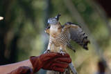 Pacific Baza Perched on Falconer's Hand Photographic Print by W. Perry Conway