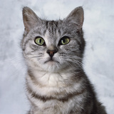 Alert Grey Tabby Cat Photographic Print by Robert Dowling