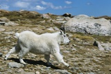 Mountain Goat Running Photographic Print by W. Perry Conway