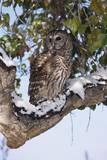 Barred Owl Perched on Branch Photographic Print by W. Perry Conway