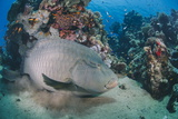 Napoleon Wrasse (Cheilinus Undulatus) Juvenile, an Endangered Species, Naama Bay Photographic Print by Mark Doherty