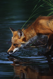 Red Fox Drinking Water Photographic Print by W. Perry Conway