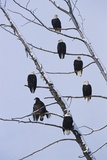 Bald Eagles Perched on Branches Photographic Print by W. Perry Conway