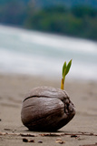 Sprouting Coconut Palm Tree on Beach Photo Poster Print Photo