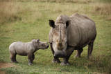 White Rhinoceros with Calf Photographic Print by W. Perry Conway