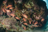 Small School of Blotcheye Soldierfish (White Edged Soldier Fish) (Myripristis Murdjan) Photographic Print by Mark Doherty