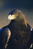 Golden Eagle Fotodruck von W. Perry Conway