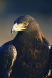 Golden Eagle Photographic Print by W. Perry Conway