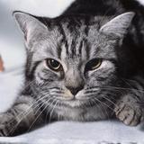 Grey Tabby Cat Lying Down Photographic Print by Robert Dowling