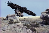 Golden Eagle with Prairie Dog Photographic Print by W. Perry Conway