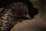 Echidna Photographic Print by W. Perry Conway