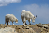 Mountain Goat Nannie and Kid Photographic Print by W. Perry Conway