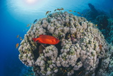 Common Bigeye (Priacanthus Hamrur), Sheltering Next to Coral Reef, Ras Mohammed National Park Photographic Print by Mark Doherty