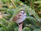 White-Throated Sparrow Photographic Print by Gary Carter