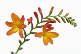 Crocosmia Photographic Print by Frank Krahmer