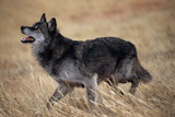 Gray Wolf in Foothills Habitat Photographic Print by W. Perry Conway