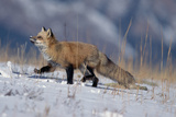 Red Fox Running in Snowy Meadow Photographic Print by W. Perry Conway