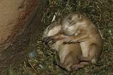 Sleeping Prairie Dog Pups Fotografisk tryk af W. Perry Conway